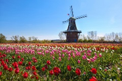 Holland-Michigan-windmill-and-tulips